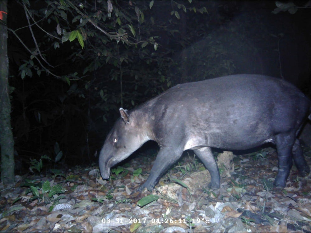Тапир Tapirus bairdii, находящийся под угрозой исчезновения, замеченный на ловушке камеры. Фото: Washington State University, Panthera, Wildlife Conservation Society, Zamorano University, Honduran Forest Conservation Institute, Travis King, John Polisar, Manfredo Turcios