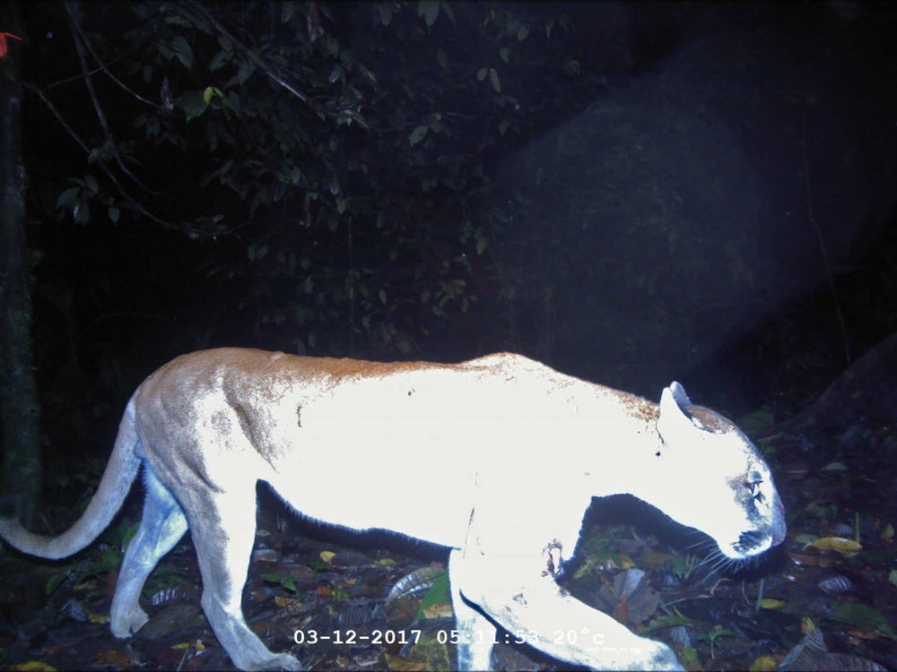 По словам команды, пумы в регионе встречаются довольно часто. Фото: Washington State University, Panthera, Wildlife Conservation Society, Zamorano University, Honduran Forest Conservation Institute, Travis King, John Polisar, Manfredo Turcios